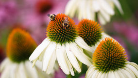 Bees Feeding on Cone flower Stock Photography