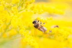 Bees feeding on nectar and pollen Royalty Free Stock Photo