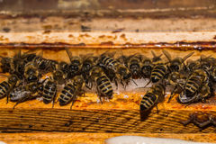 Bees when feeding with sucrose on frames in the hive Stock Photo