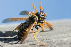 Bees in fight, amazing posture! Royalty Free Stock Photos
