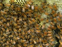 Bees filling honey comb royalty free stock photo