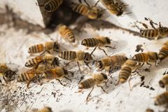 Bees find food and keep in White bee boxes.  Stock Photo