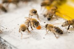 Bees find food and keep in White bee boxes.  Stock Images