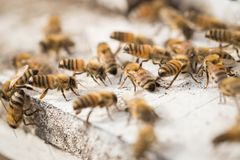 Bees find food and keep in White bee boxes.  Stock Photography