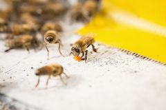 Bees find food and keep in White bee boxes Selective Focus. Bees find food and keep in White bee boxes. Selective Focus Stock Photo