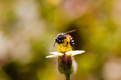 Bees find nectar. Bee pollen find nectar in flowers Stock Image