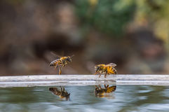 Bees find a watering hole Stock Photos