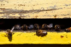 Bees flapping its wings. At the entrance of the hive Stock Photos