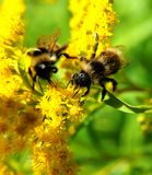 Bees on a flower. Beautiful bees on a summer flower Stock Photography