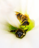 Bees in a flower Stock Image