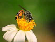 bees on  flower Royalty Free Stock Photography
