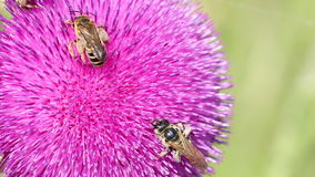 Bees on flower close up stock video footage