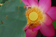 Bees in flower core. Bees in Lotus flower core Royalty Free Stock Photos
