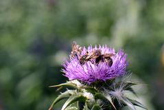 Bees on flower Silybum marianum in bloom. Bees on flower field with Silybum marianum in bloom, view of one flower in summer day royalty free stock image