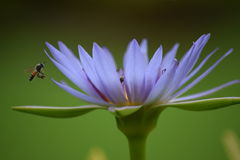 Bees and the flower Royalty Free Stock Image