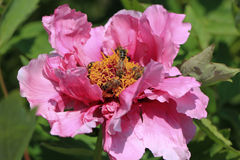 Bees on flower peony Stock Photography