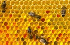Bees with flower pollen. The lack of sharpness of individual bees is due to their active movement..The brilliant wings of insects create light highlights stock images