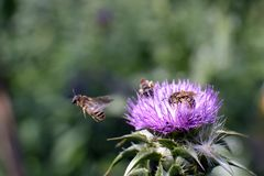 Bees on flower Silybum marianum in bloom. Bees on flower field with Silybum marianum in bloom, view of one flower in summer day stock image