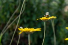 Bees on a flower in Spring royalty free stock photo