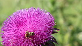 Bees on flower stock video footage