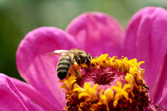 Bees. At flower at work royalty free stock photo