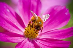 Bumblebee. Bees and flowering plants have a mutualistic relationship where both species benefit. Flowers provide bees with nectar and pollen, which worker bees Stock Photo