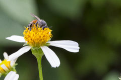 Bees&flowers Stockfoto