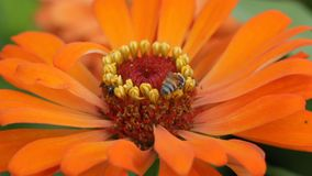 Bees on flowers stock video