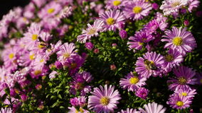 Bees On Flowers stock footage
