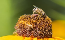 Bees and flowers. Bees feed on flowers completely, including pollen and nectar, which sometimes modulation stored into honey. There is no doubt that the bees on Stock Photography