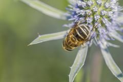Bees and flowers Royalty Free Stock Images