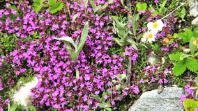 Bees and flowers at Himalayan Mountain Range stock video footage