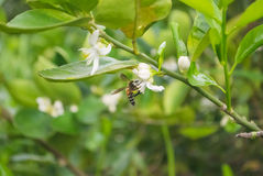 Bees and Flowers Royalty Free Stock Photography