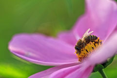 Bees and Flowers. Simple sharp macro picture of a bee on a violet flower with blurred green background Stock Photo