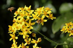Bees on Flowers. Two bees on yellow flower cluster Royalty Free Stock Image