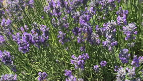 Bees fly around lavender stock video