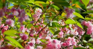 Bees fly over blooming pink cherry stock footage