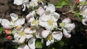 Bees fly over blossoming apple tree flowers. Blooming apple trees. A strong wind stock video footage