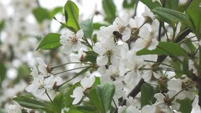 Bees fly to Blossoming Tree, slow motion stock video footage