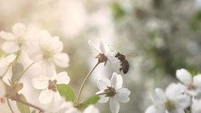 Bees fly to blossoming tree, slow motion stock footage