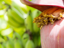 Bees fly to collect sweet nectar from banana flowers. the background is a Banana bunch. Stock Image