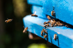 Bees fly to the hive. Bee royalty free stock image