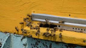 Bees fly in the tray. stock video