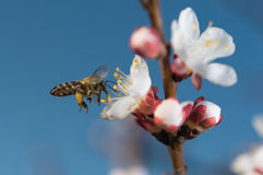 Bees flying Royalty Free Stock Photo
