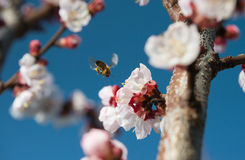 Bees flying Royalty Free Stock Photos