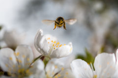 Bees flying Royalty Free Stock Image
