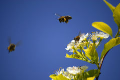 Bees Flying Around Flowers Stock Photo