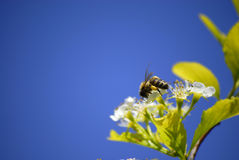 Bees Flying Around Flowers Royalty Free Stock Images