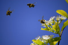 Bees Flying Around Flowers. Several Honey Bees Flying Around Flowers