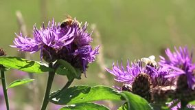 Bees flying around flowers stock footage